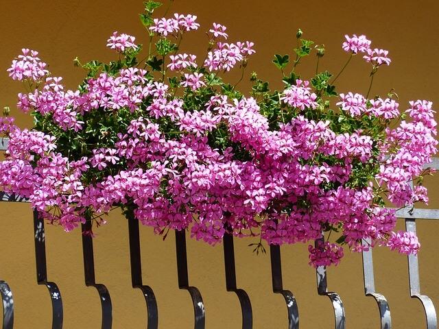 kwiaty doniczkowe na balkon