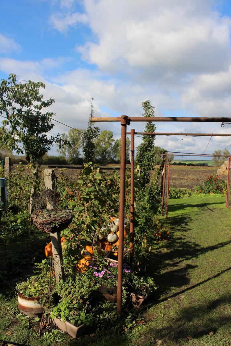 Jak uprawiać szparagi w ogrodzie?